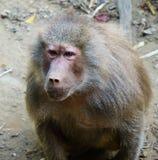 babuino Imagenes de archivo