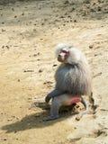 babuino Fotos de archivo libres de regalías