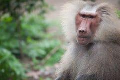 babuino Fotos de archivo
