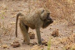 Babuino africano Imagen de archivo