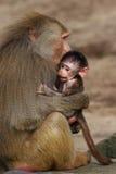 Babuino con el bebé Imagen de archivo libre de regalías