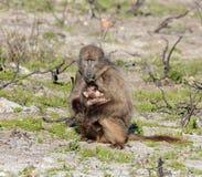 Babuino de Chacma de la madre que come con el bebé Foto de archivo libre de regalías