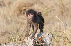 Babuino de Chacma del bebé Fotografía de archivo libre de regalías