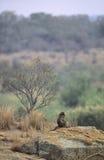 Babuino de Chacma femenino en paisaje, Suráfrica Imagen de archivo libre de regalías