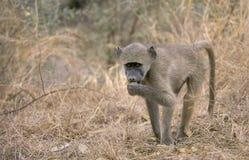 Babuino de Chacma juvenil, Suráfrica Fotos de archivo