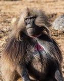 Babuino de Gelada - gelada de Theropithecus Monta?as de Simien en Etiop?a imagen de archivo libre de regalías