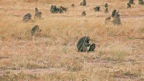 Babuino de la madre y del bebé en Masai Mara almacen de metraje de vídeo