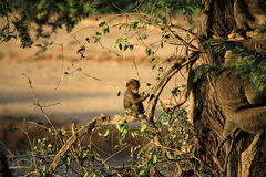 Babuino del bebé sentado en un árbol Fotos de archivo libres de regalías