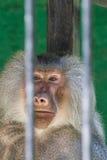 Babuino en el parque zoológico Fotos de archivo