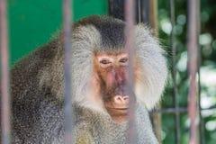 Babuino en el parque zoológico Fotos de archivo libres de regalías