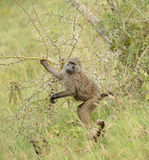 Babuino en Tanzania Imagen de archivo libre de regalías