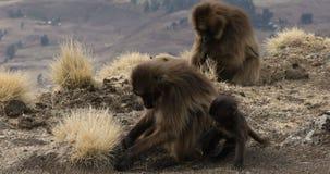 Babuino endémico de Gelada en la montaña de Simien, fauna de Etiopía almacen de video