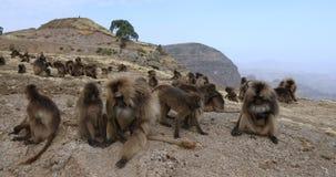 Babuino endémico de Gelada en la montaña de Simien, fauna de Etiopía almacen de metraje de vídeo