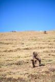 Babuino femenino del gelada que se sienta en una cuesta de la montaña Imagen de archivo
