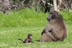 Babuino masculino y su descendiente del bebé Foto de archivo libre de regalías