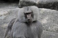 Babuino que le mira Fotografía de archivo libre de regalías