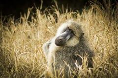 Babuino que mira fijamente en el parque nacional del oeste Kenia la África del Este de Tsavo Imagen de archivo libre de regalías