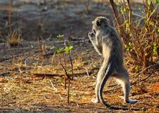 Babuino que se coloca vertical en las piernas traseras mientras que alimenta en parque nacional del luangwa del sur Imagen de archivo libre de regalías