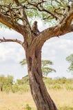 babuino que se sienta en un árbol Foto de archivo libre de regalías