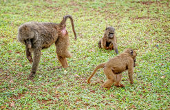 Babuino verde oliva con una pierna que falta con otros babuinos en Uganda Fotografía de archivo
