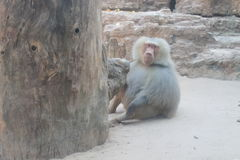 Babuino in zoo Fotografie Stock
