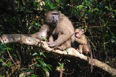 Babuinos Imagen de archivo