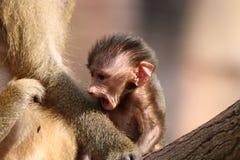 babuinos Fotografía de archivo
