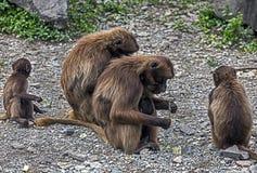 Babuinos de Gelada Foto de archivo