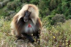 Babuinos de Gelada en las montañas de Simien de Etiopía imagen de archivo