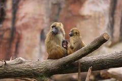 Babuinos de Guinea Imagenes de archivo