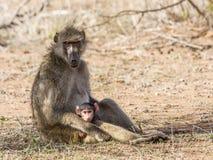 Babuinos de la madre y del bebé en el arbusto, parque de Kruger Imagen de archivo