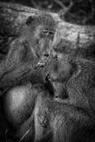Babuinos de la preparación, parque nacional de Kruger, Suráfrica Foto de archivo libre de regalías