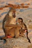 Babuinos en el hábitat de la naturaleza de África salvaje Imagenes de archivo