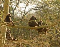 Babuinos en Serengeti Imagen de archivo