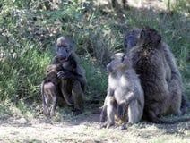 Babuinos en Suráfrica imagenes de archivo