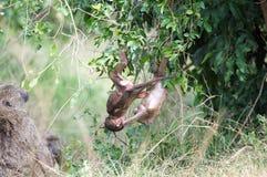 Babuinos (Papio) Fotografía de archivo