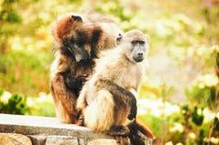 Babuinos que se enfrían en Cabo de Buena Esperanza, Suráfrica foto de archivo libre de regalías