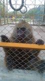 Babun in una gabbia fotografia stock libera da diritti