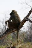 Babuíno africano Imagem de Stock Royalty Free