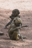 Babuíno em Tanzânia Imagens de Stock Royalty Free