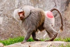 Babuíno masculino de Hamadryas Foto de Stock