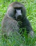 Babuíno verde-oliva masculino em Amboseli, Kenya Imagem de Stock Royalty Free