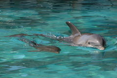 Baby. Dolphin swiming in a lagoon with its baby Royalty Free Stock Photos