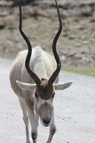 Baby Addax Stock Photo