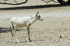 Baby of addax antelope in Israeli savanna Royalty Free Stock Photo