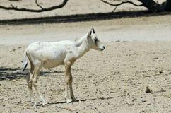 Baby of addax antelope in Israeli savanna Royalty Free Stock Photo