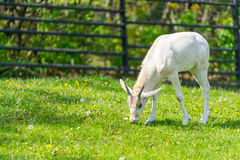 Baby addax feeding. Baby addax on green grass with bloomy flower Stock Images