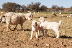 Baby and adult goats in farm meadow Royalty Free Stock Photo