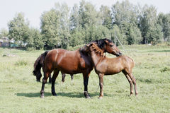 A baby and adult horses on the grassland. Stock Image