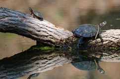 Baby and adult painted turtle on a log Stock Photo